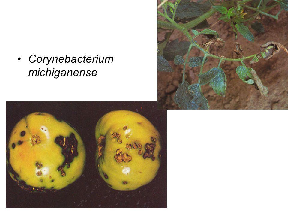 Corynebacterium michiganense
