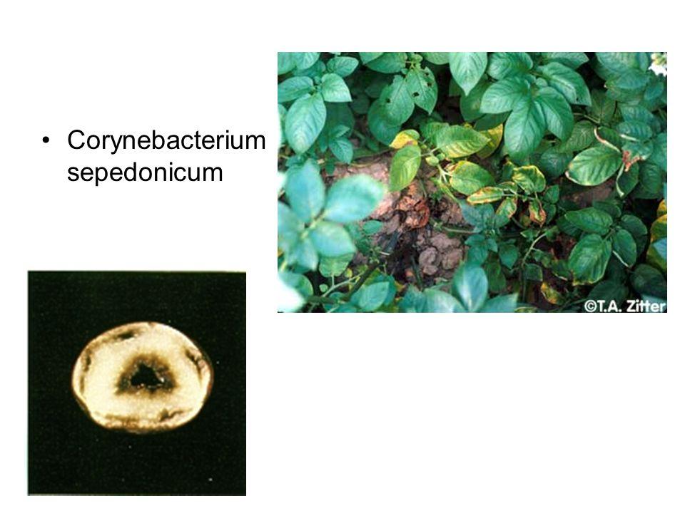 Corynebacterium sepedonicum