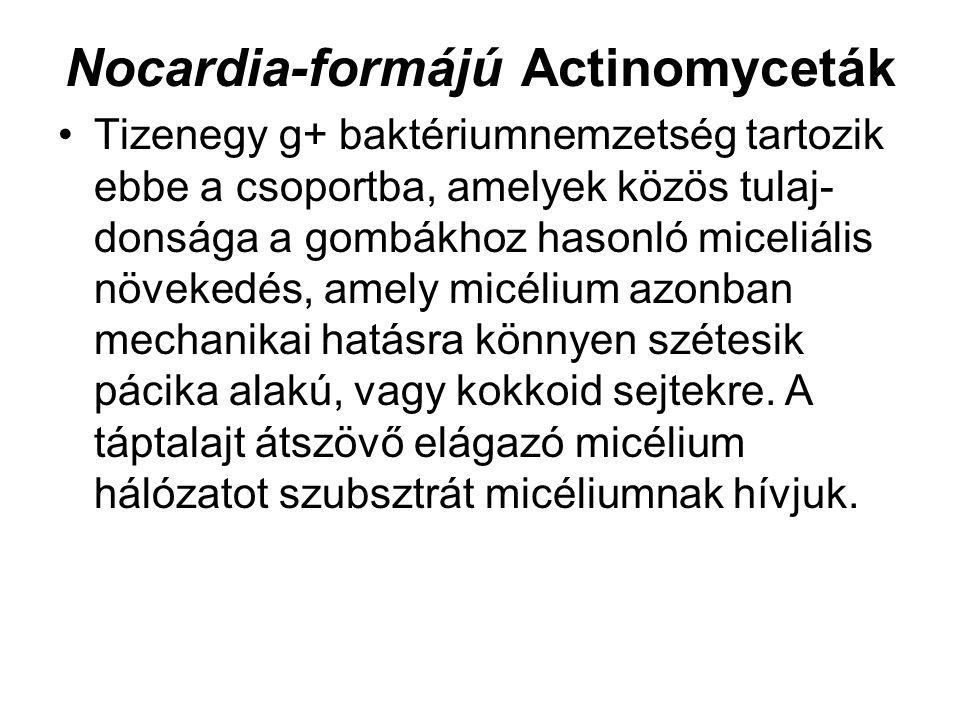 Nocardia-formájú Actinomyceták