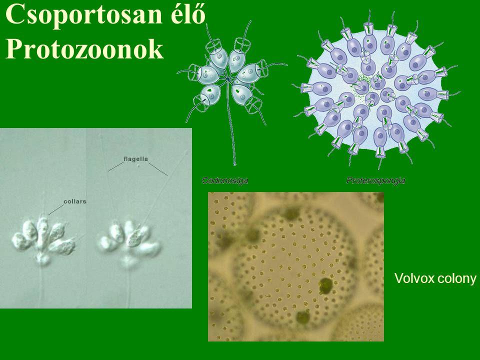 Csoportosan élő Protozoonok