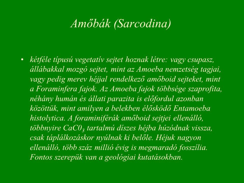 Amőbák (Sarcodina)