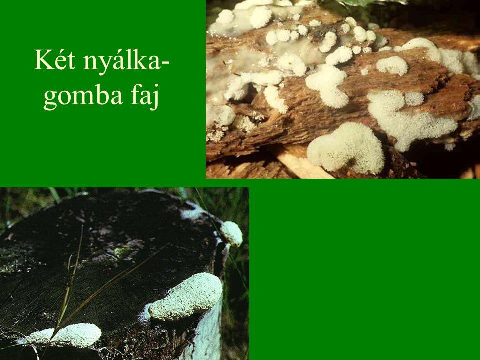Két nyálka-gomba faj Bal oldalon: (Cservirág nyálkagomba) Magyarország gombái CD, Kossuth Kiadó és ComCom Bt.