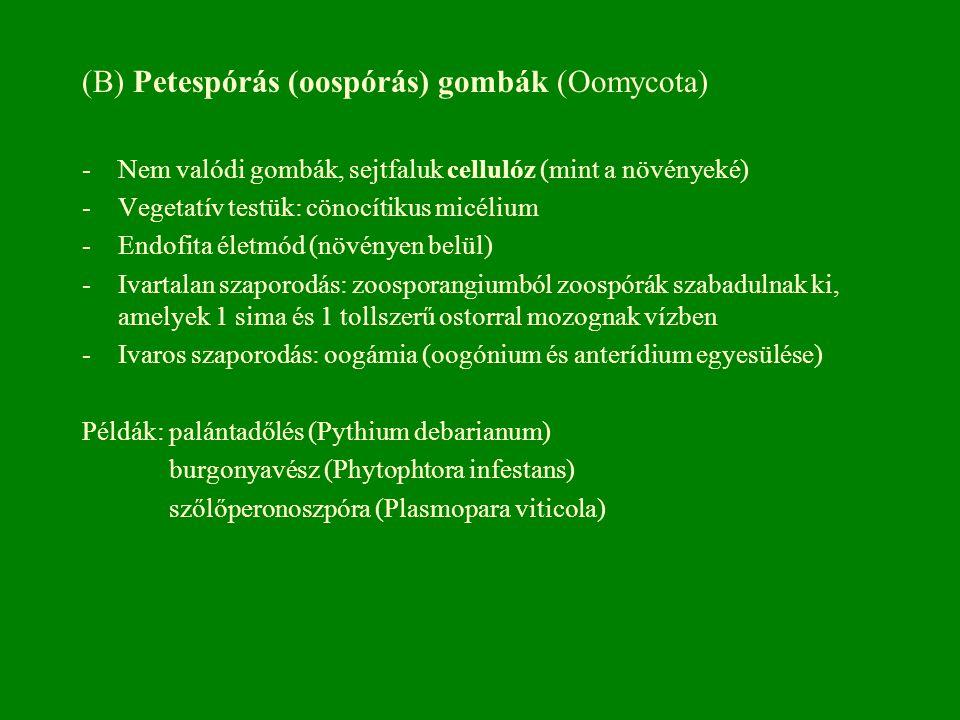 (B) Petespórás (oospórás) gombák (Oomycota)
