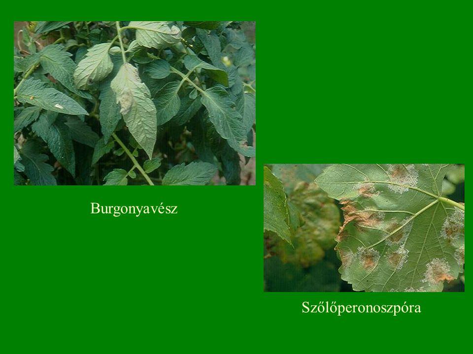 Burgonyavész Szőlőperonoszpóra