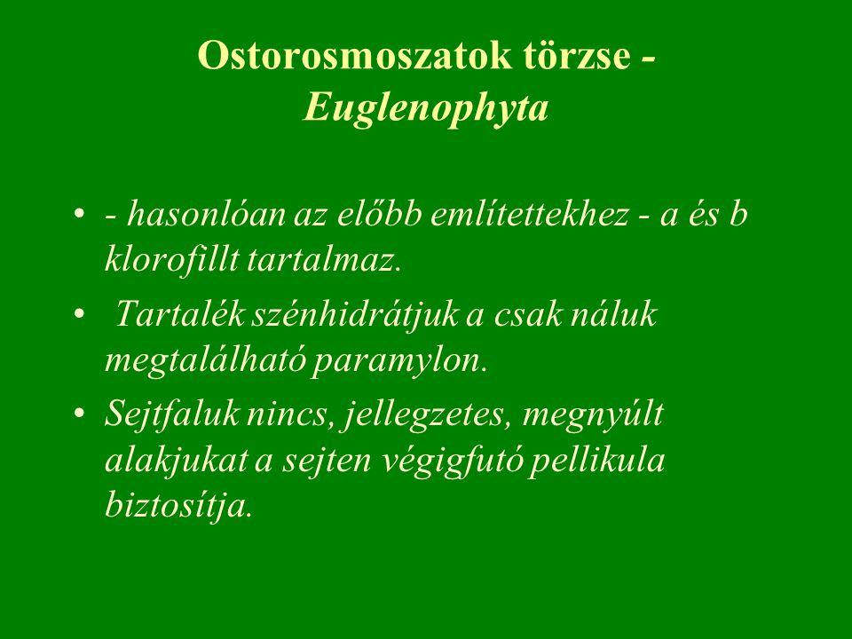 Ostorosmoszatok törzse - Euglenophyta