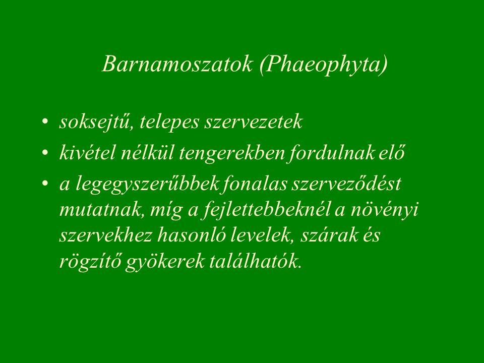 Barnamoszatok (Phaeophyta)