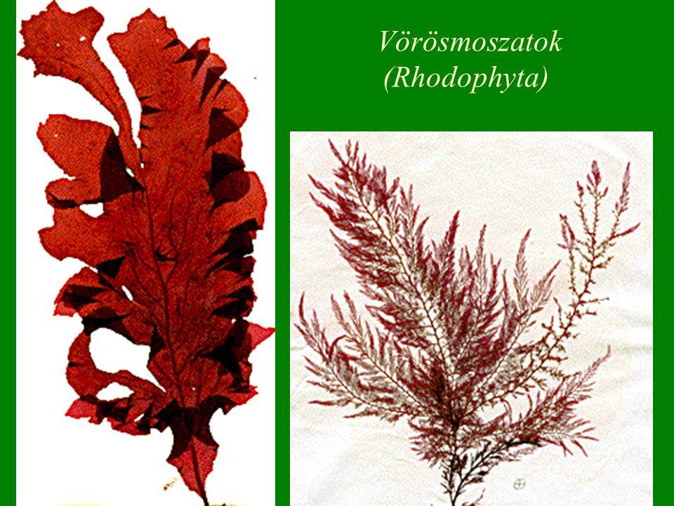 Vörösmoszatok (Rhodophyta)