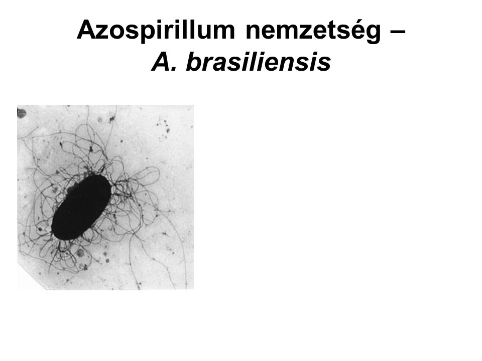 Azospirillum nemzetség – A. brasiliensis