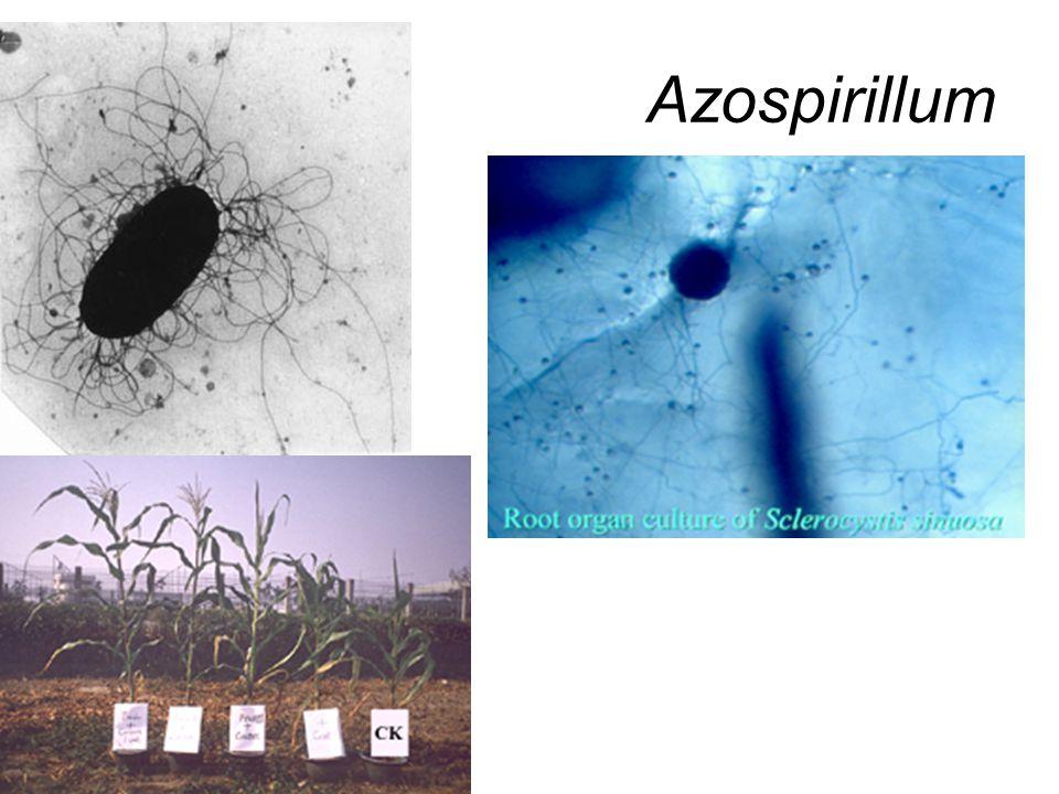 Azospirillum