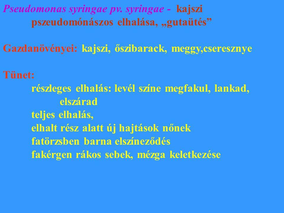 Pseudomonas syringae pv. syringae - kajszi
