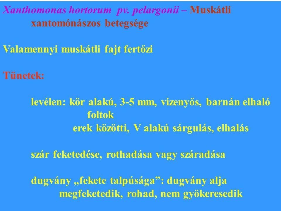 Xanthomonas hortorum pv. pelargonii – Muskátli xantomónászos betegsége