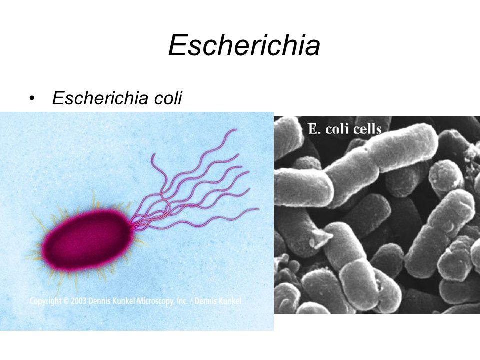Escherichia Escherichia coli