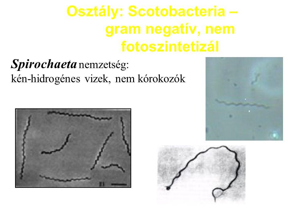 Osztály: Scotobacteria – gram negatív, nem fotoszintetizál