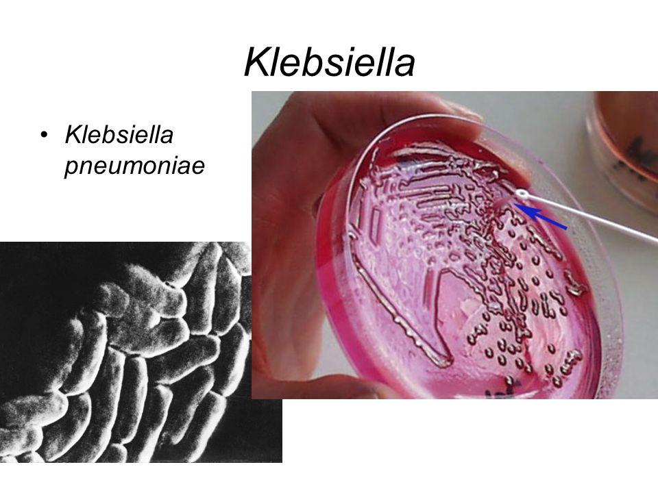 Klebsiella Klebsiella pneumoniae