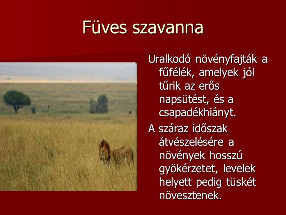 Füves szavanna Uralkodó növényfajták a fűfélék, amelyek jól tűrik az erős napsütést, és a csapadékhiányt.