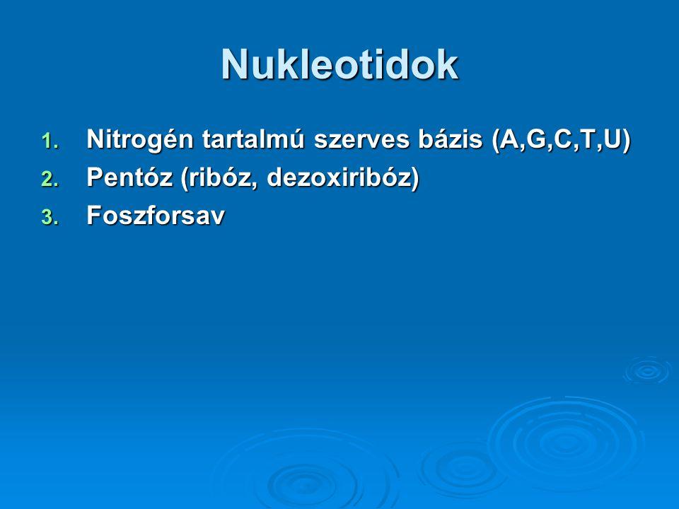 Nukleotidok Nitrogén tartalmú szerves bázis (A,G,C,T,U)