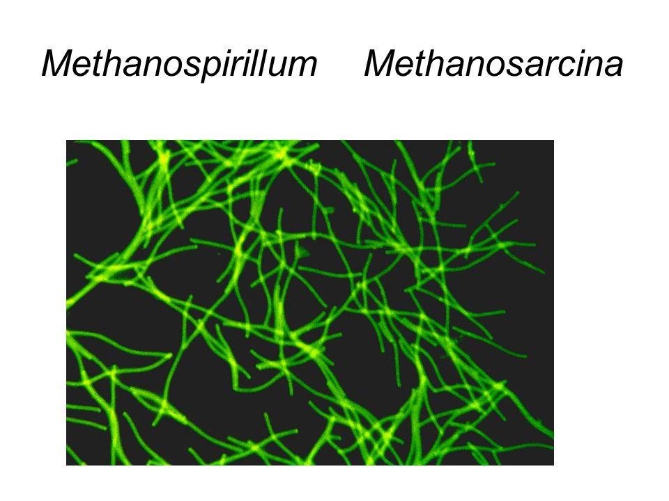 Methanospirillum Methanosarcina