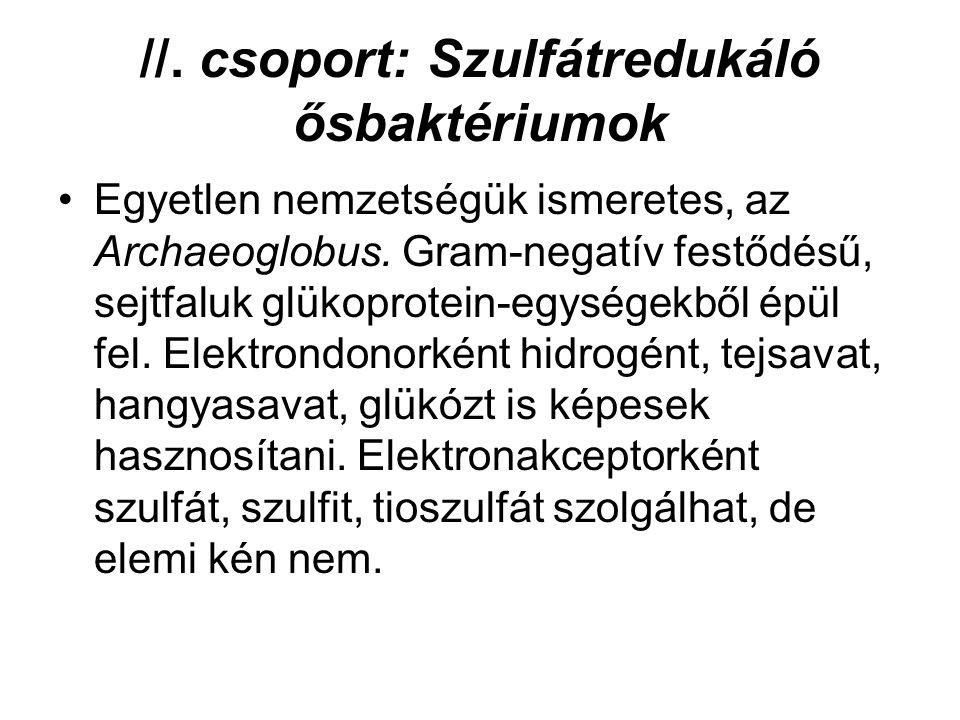 //. csoport: Szulfátredukáló ősbaktériumok