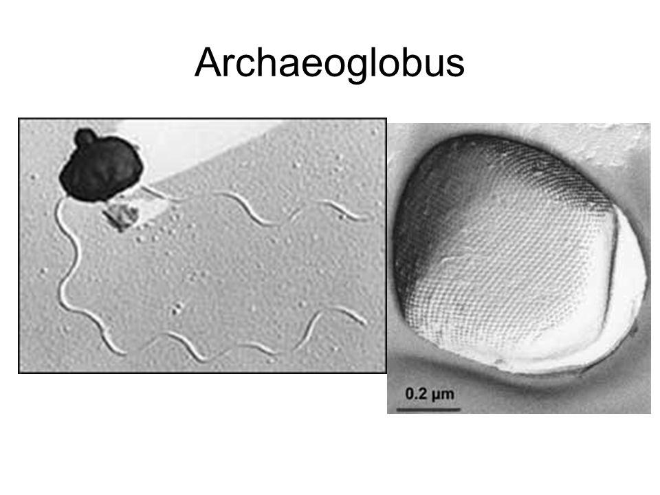 Archaeoglobus