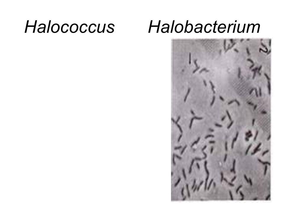 Halococcus Halobacterium