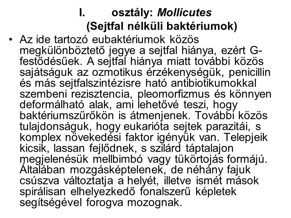 osztály: Mollicutes (Sejtfal nélküli baktériumok)