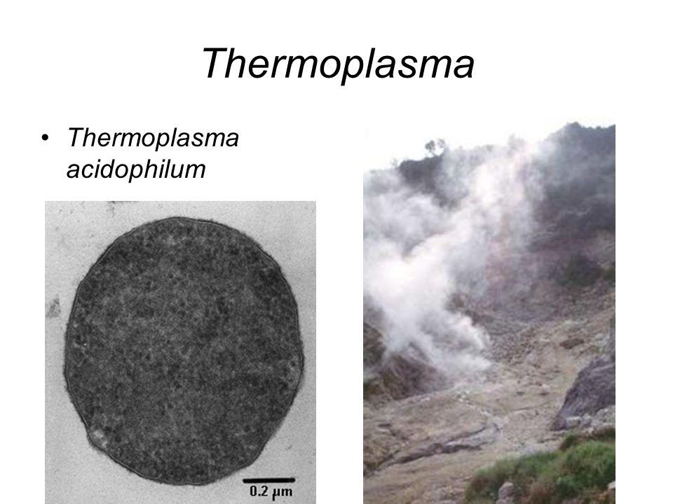 Thermoplasma Thermoplasma acidophilum