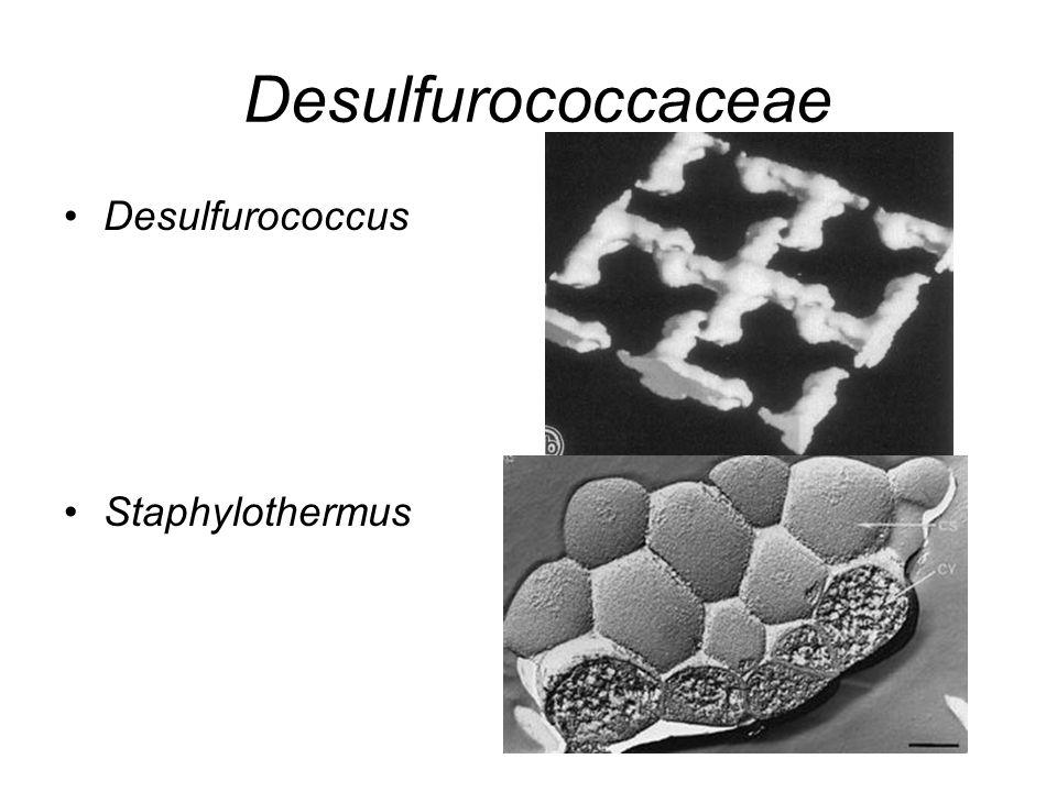 Desulfurococcaceae Desulfurococcus Staphylothermus