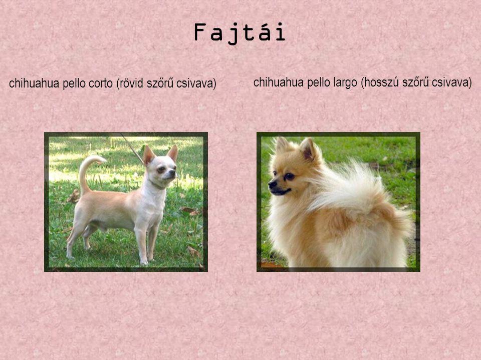 Fajtái chihuahua pello corto (rövid szőrű csivava)