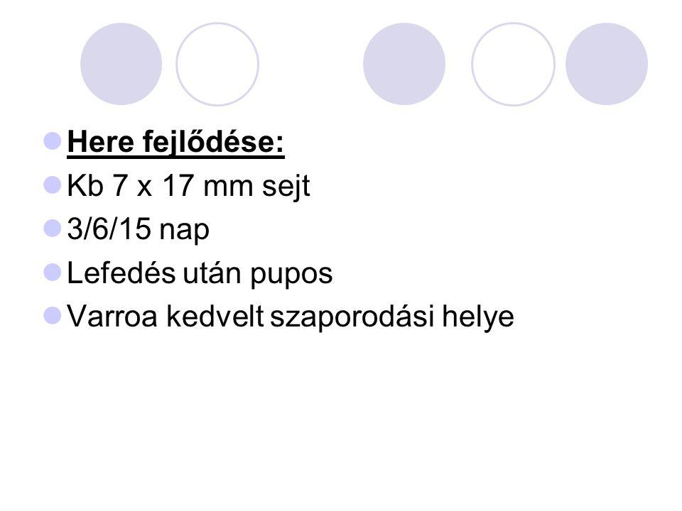 Here fejlődése: Kb 7 x 17 mm sejt 3/6/15 nap Lefedés után pupos Varroa kedvelt szaporodási helye