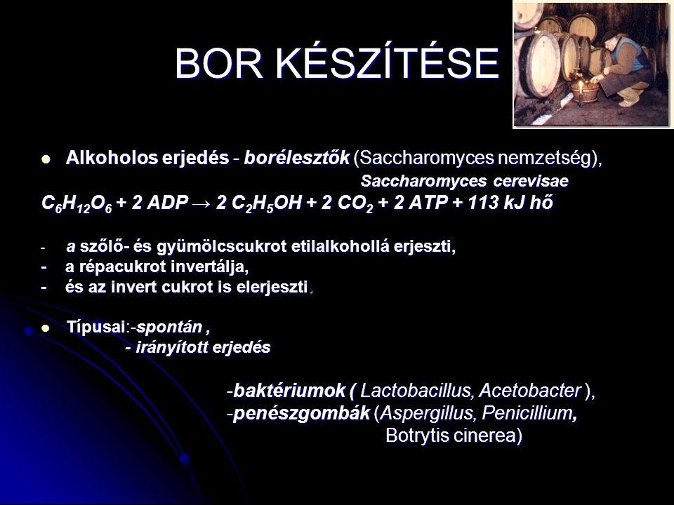 BOR KÉSZÍTÉSE Alkoholos erjedés - borélesztők (Saccharomyces nemzetség), Saccharomyces cerevisae.