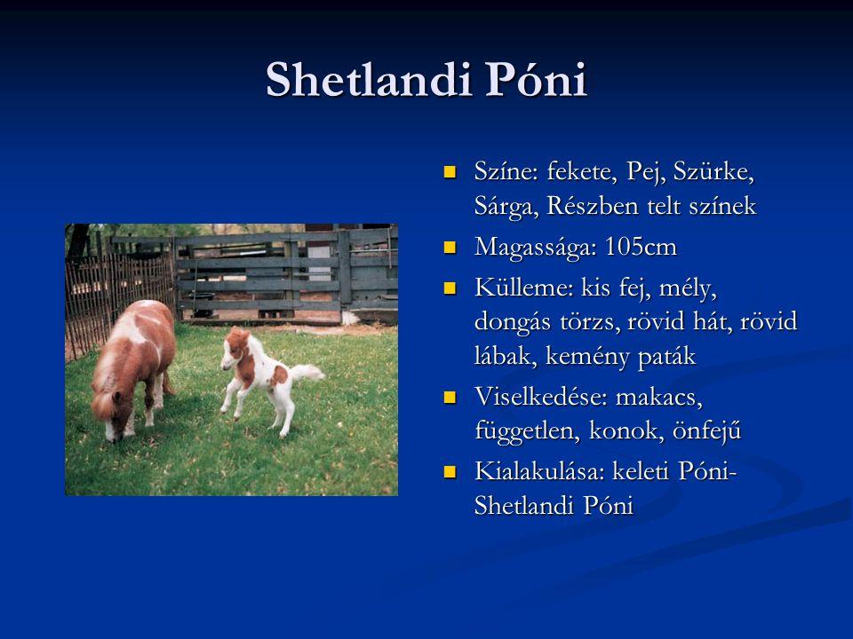 Shetlandi Póni Színe: fekete, Pej, Szürke, Sárga, Részben telt színek