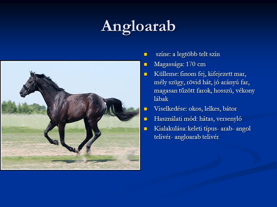 Angloarab színe: a legtöbb telt szín Magassága: 170 cm