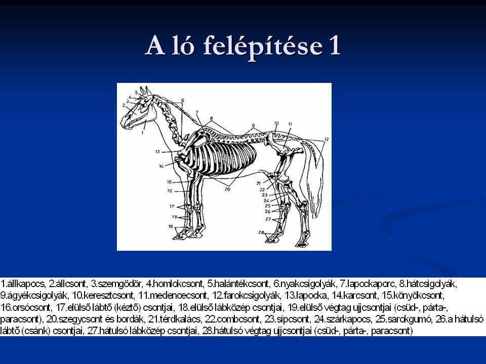 A ló felépítése 1