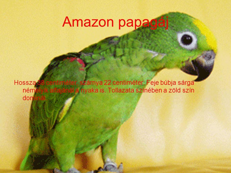 Amazon papagáj Hossza 38 centiméter, szárnya 22 centiméter.