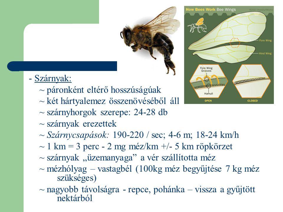 - Szárnyak: ~ páronként eltérő hosszúságúak. ~ két hártyalemez összenövéséből áll. ~ szárnyhorgok szerepe: 24-28 db.