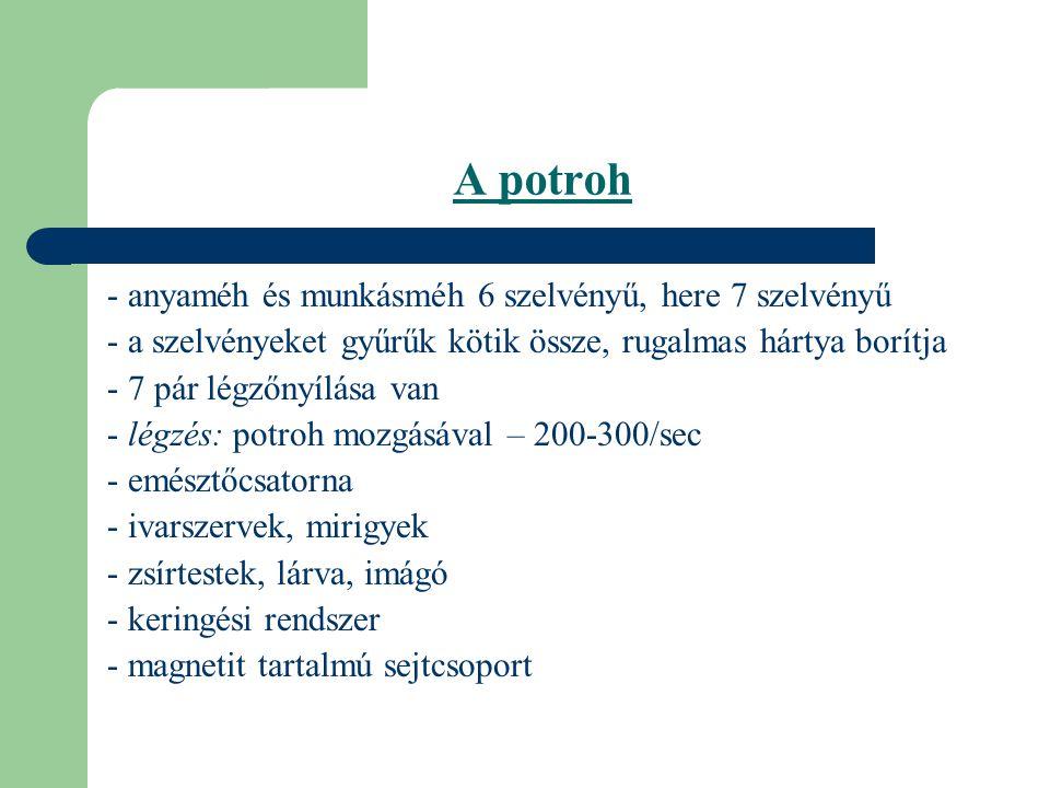 A potroh - anyaméh és munkásméh 6 szelvényű, here 7 szelvényű