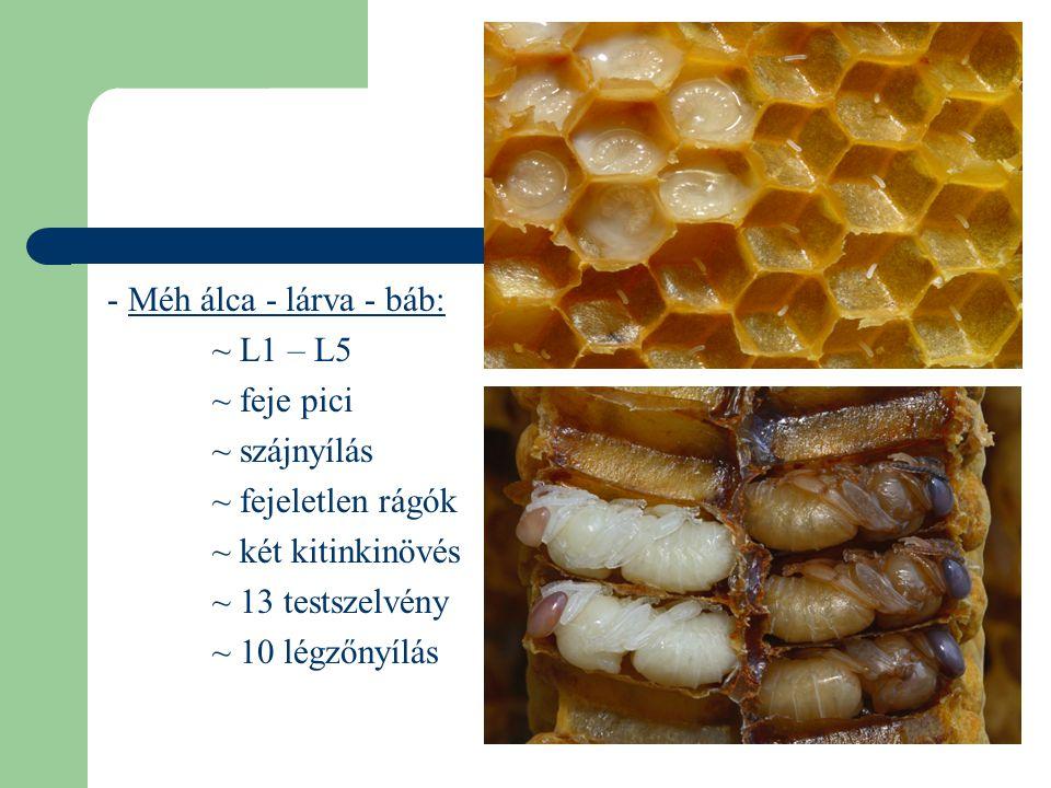 - Méh álca - lárva - báb: ~ L1 – L5. ~ feje pici. ~ szájnyílás. ~ fejeletlen rágók. ~ két kitinkinövés.