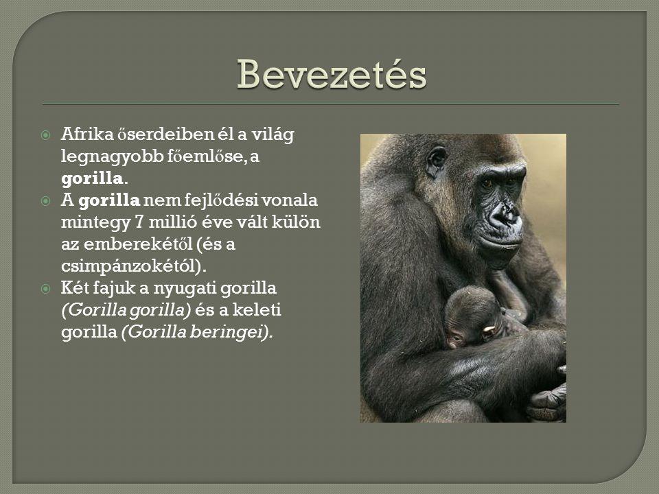 Bevezetés Afrika őserdeiben él a világ legnagyobb főemlőse, a gorilla.
