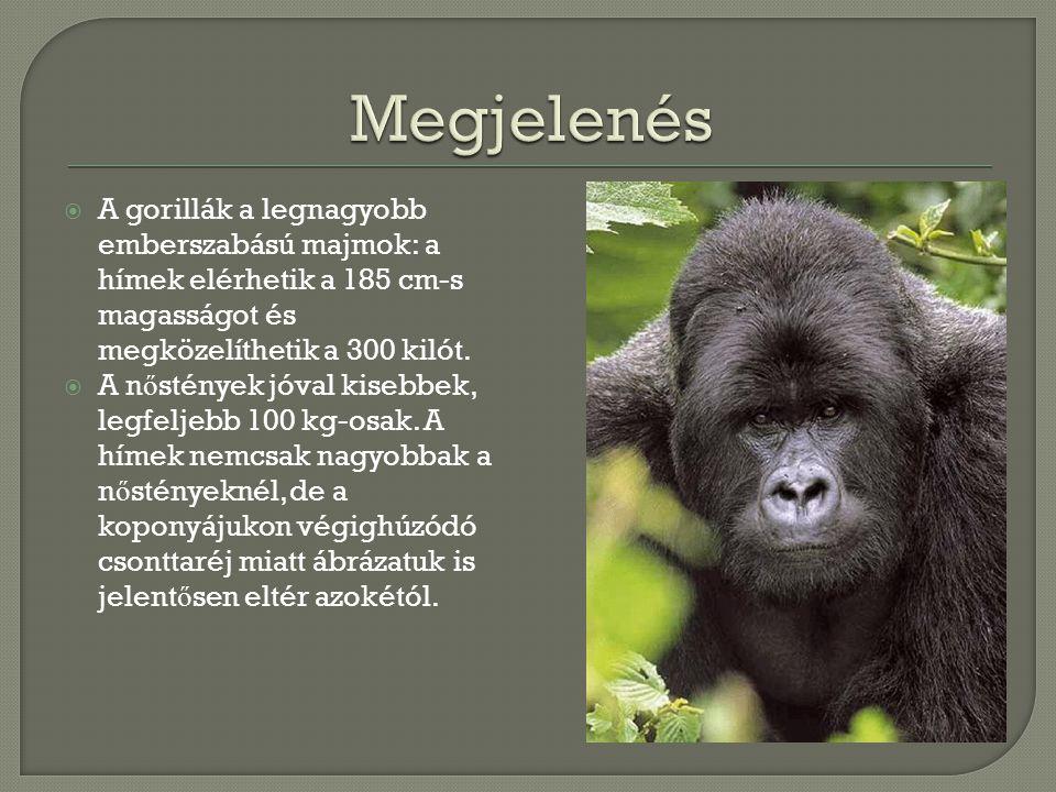 Megjelenés A gorillák a legnagyobb emberszabású majmok: a hímek elérhetik a 185 cm-s magasságot és megközelíthetik a 300 kilót.