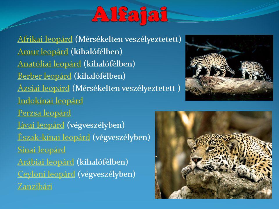 Alfajai Afrikai leopárd (Mérsékelten veszélyeztetett)