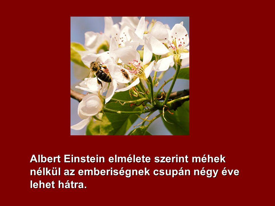 Albert Einstein elmélete szerint méhek nélkül az emberiségnek csupán négy éve lehet hátra.