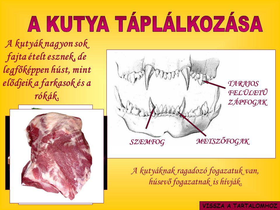 A kutyáknak ragadozó fogazatuk van, húsevő fogazatnak is hívják.