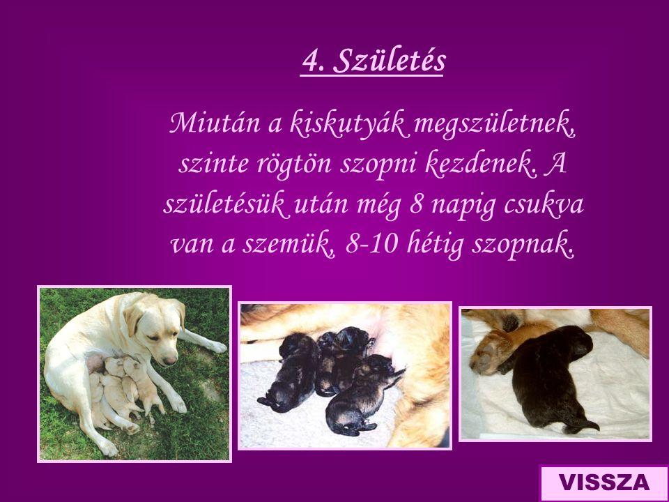 4. Születés Miután a kiskutyák megszületnek, szinte rögtön szopni kezdenek. A születésük után még 8 napig csukva van a szemük, 8-10 hétig szopnak.