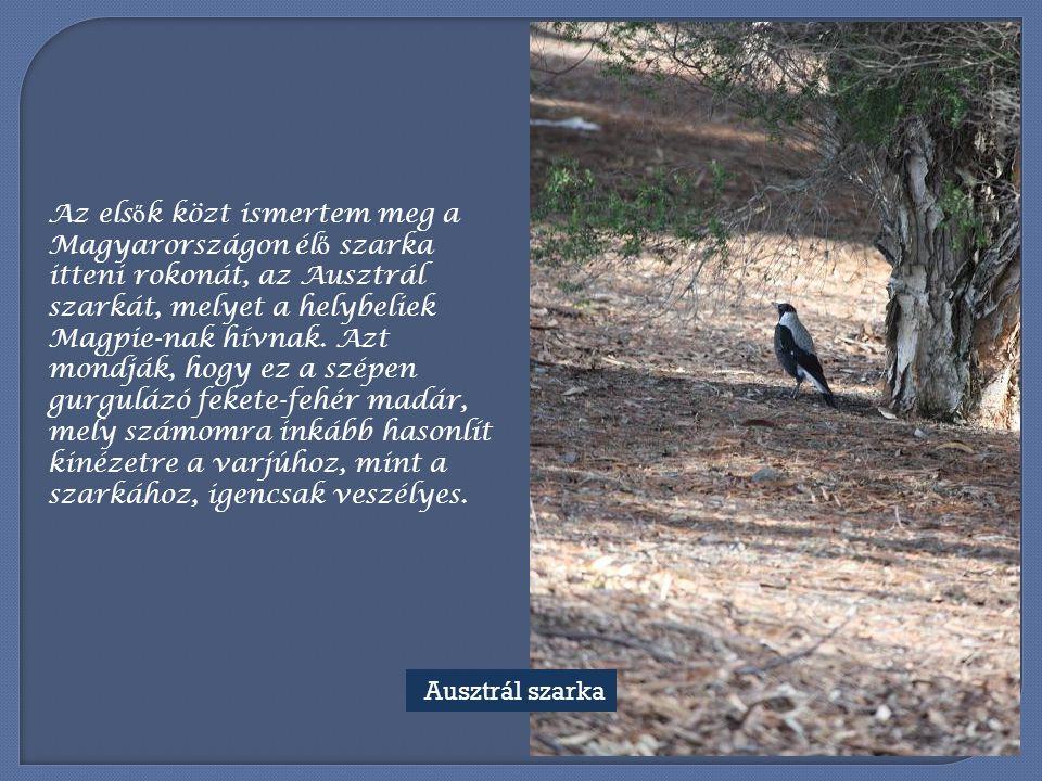 Az elsők közt ismertem meg a Magyarországon élő szarka itteni rokonát, az Ausztrál szarkát, melyet a helybeliek Magpie-nak hívnak. Azt mondják, hogy ez a szépen gurgulázó fekete-fehér madár, mely számomra inkább hasonlít kinézetre a varjúhoz, mint a szarkához, igencsak veszélyes.