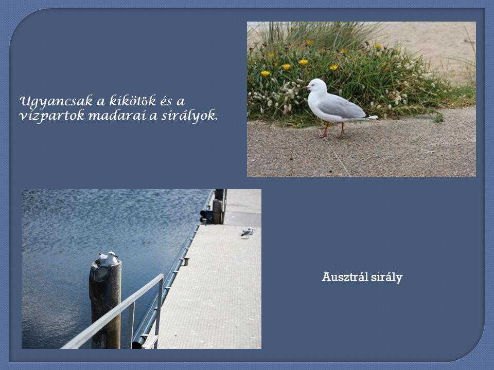 Ugyancsak a kikötők és a vízpartok madarai a sirályok.