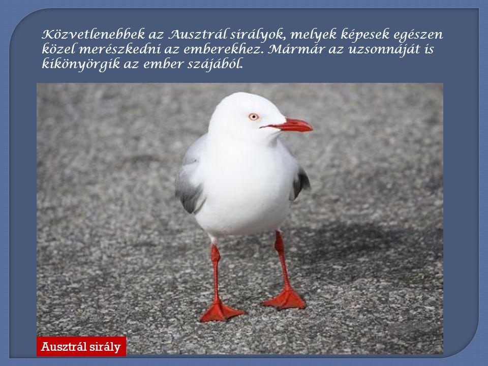 Közvetlenebbek az Ausztrál sirályok, melyek képesek egészen közel merészkedni az emberekhez. Mármár az uzsonnáját is kikönyörgik az ember szájából.