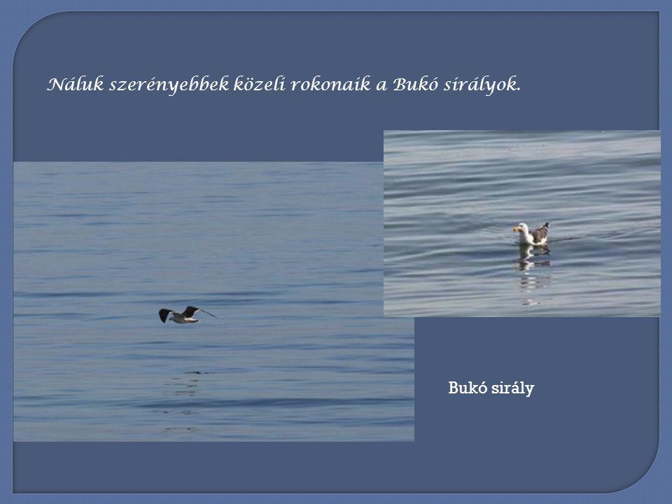 Náluk szerényebbek közeli rokonaik a Bukó sirályok.
