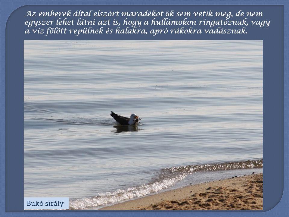 Az emberek által elszórt maradékot ők sem vetik meg, de nem egyszer lehet látni azt is, hogy a hullámokon ringatóznak, vagy a víz fölött repülnek és halakra, apró rákokra vadásznak.