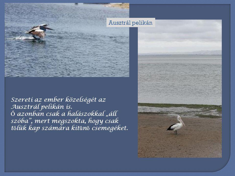 Ausztrál pelikán Szereti az ember közelségét az Ausztrál pelikán is.