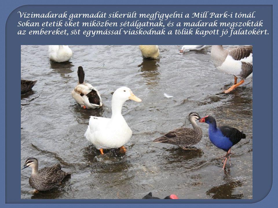 Vízimadarak garmadát sikerült megfigyelni a Mill Park-i tónál
